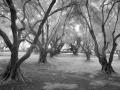 shr2012Art-Tony Coluzzi-FiloliGhostTrees