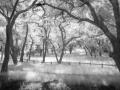 shr2012Art-Tony Coluzzi-PaloAltoFoothillParkTrees
